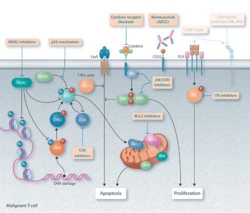 Future therapies in T-PLL and T-LGL